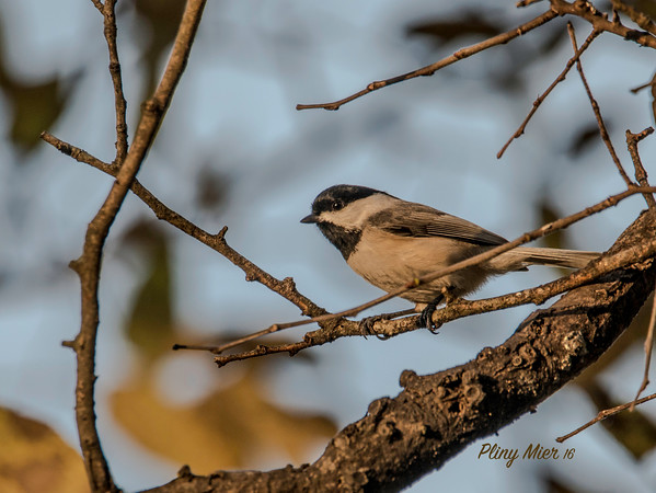 Carolina Chickadee_DWL5489.jpg