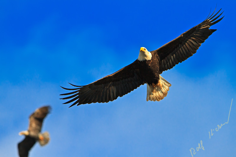 Flying bald eagle (Haliaeetus leucocephalus) with wings spread wide open against blue sky, Northern Vancouver Island, British Columbia, Canada.