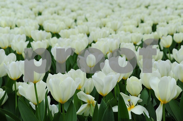 Tulips on Michigan Avenue