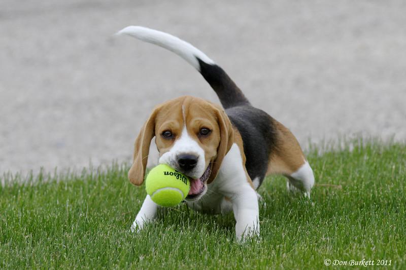 Lillte Dog Big Ball