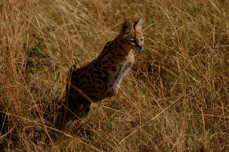 009_6760 Jumping Serval.jpg