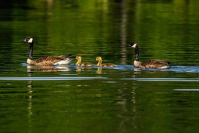 Goslings and parents.