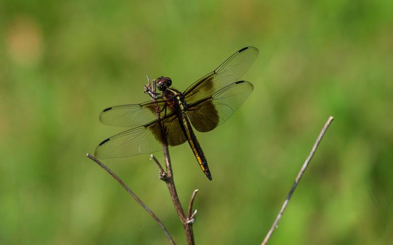 Dragonflies-osinga-farm.jpg