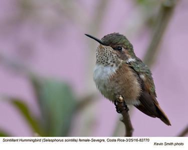 Scintillant Hummingbird F82770.jpg