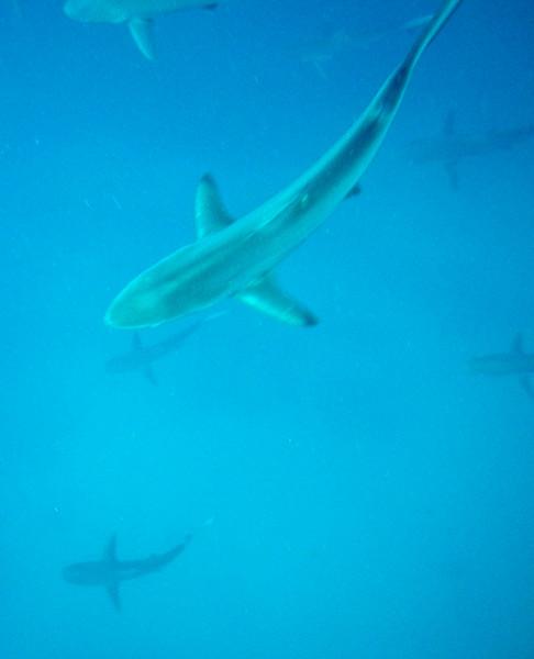 Galapagos sharks! Dozens of them at Kicker Rock.