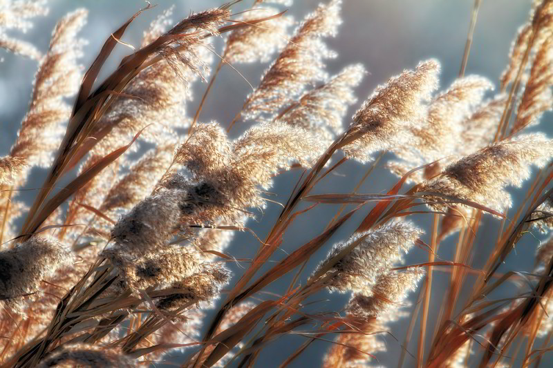Winter Reeds 2012-01-29  Yesterday was one of the first really freezing but bright days along the Danube.  Reeds abound along the Danube shores, where low wetlands host a multitude of animal and plant life.  This view was taken practically at the border of Austria and Slovakia in the afternoon sun.  Many thanks for the comments on the winter jogger.  I was about 260m above her on a tower.