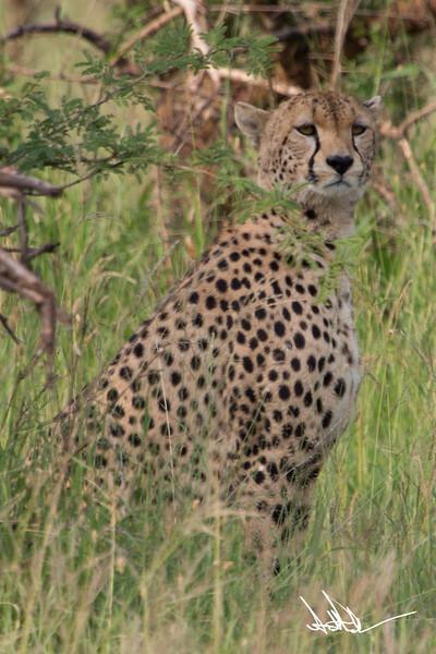 CheetahS-5.jpg