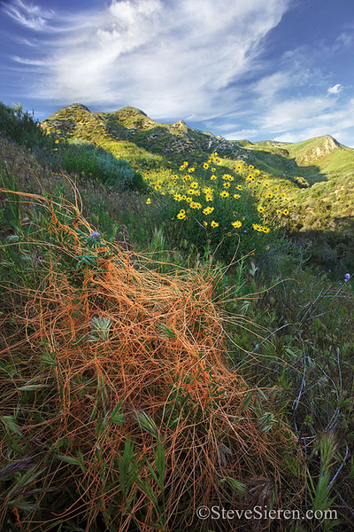 Parasitic dodder and wildflowers growing in the Simi Valley Hills / Santa Susana Mountain Range, part of the Santa Monica Mountains Conservancy.