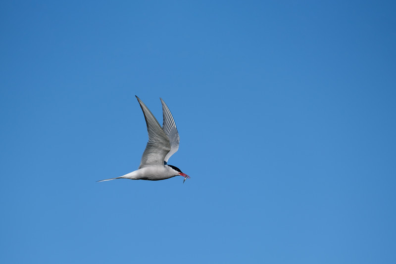 Arctic Tern with fish.