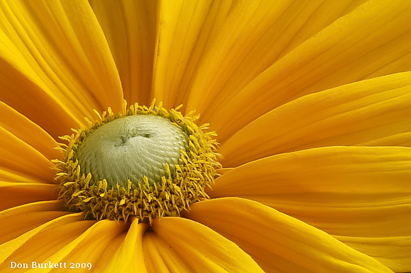Rudbeckia Prairie Sun2.jpg