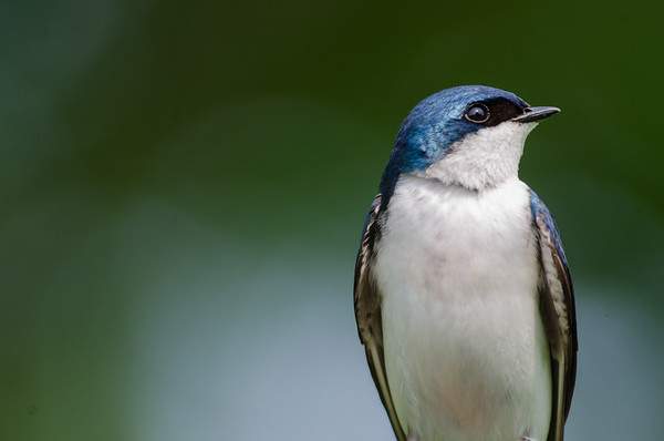 Tree Swallows - Ashland Nature Center