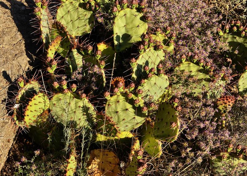 NEA_0836-7x5-Prickly Pear.jpg