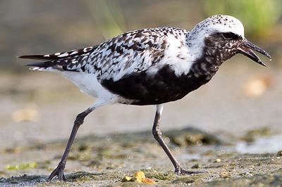 Oystercatcher, Wading Birds