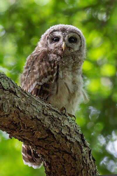 #1252 Barred Owlet