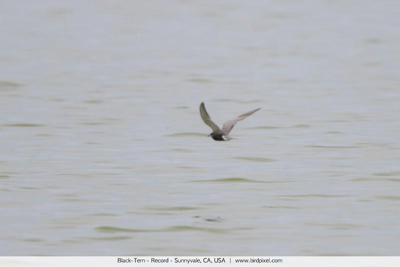 Black-Tern - Record - Sunnyvale, CA, USA