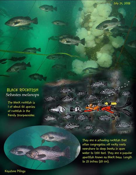 7.24.08 Piling rockfish S.jpg