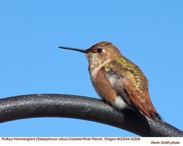 RufousHummingbird32506.jpg