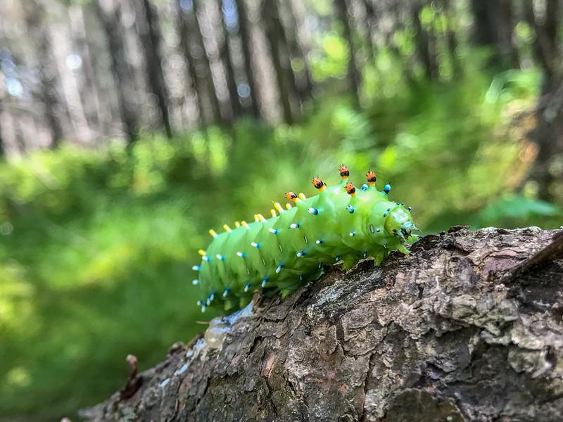 Hyalophora cecropia Cecropia Moth far back on Warren Woessner Bog Boardwalk Warren Nelson Memorial Bog Sax-Zim Bog MN IMG_7399.jpg