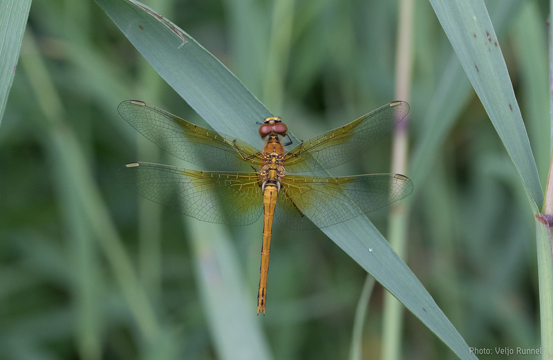 Yellow-winged darter, Sympetrum flaveolum