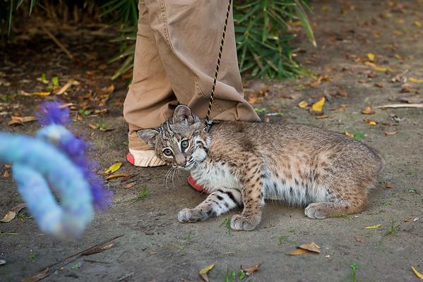 Sierra, the female bobcat kitten