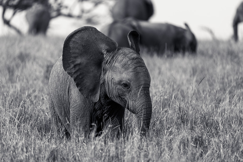 Big Ears Elephant  Calf