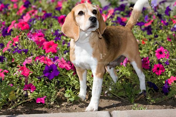 Beagle Robin