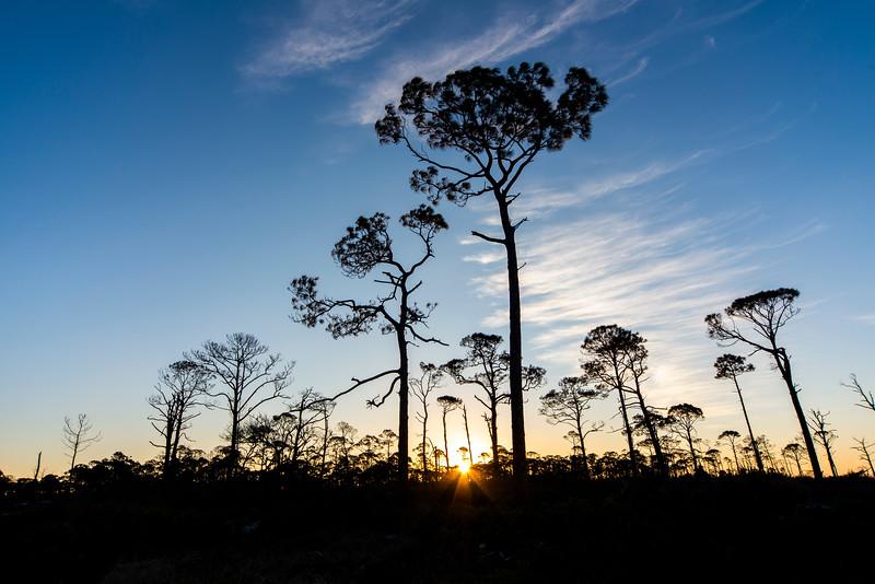 Cape San Blas Sunrise through Pines