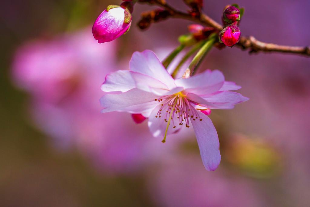 樱花,纯洁高尚