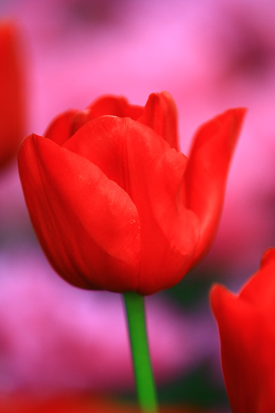 tulips-3088.jpg