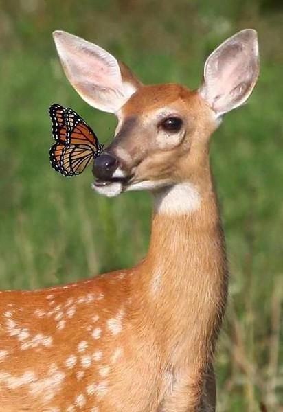 deer butterfly.jpg