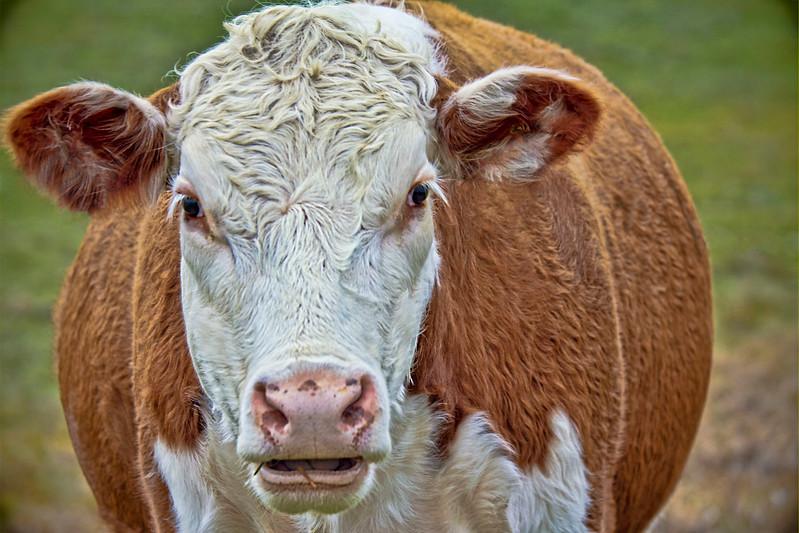 cow topaz SHARPENED 2 copy-2.jpg