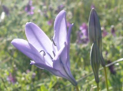 shell ridge - flowers - ridge top trail 4/3/09