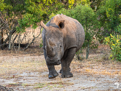 Head on with a White Rhino
