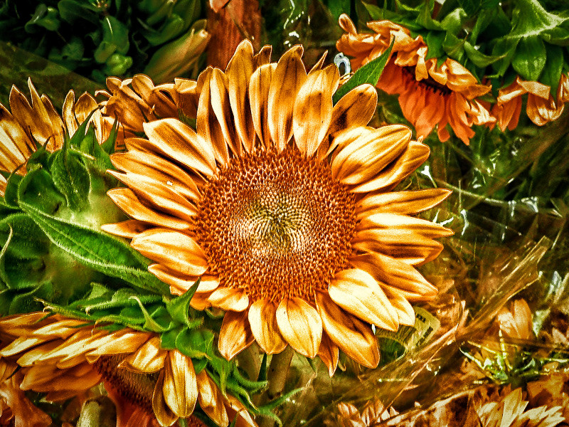 September 20 - Sunflower.jpg