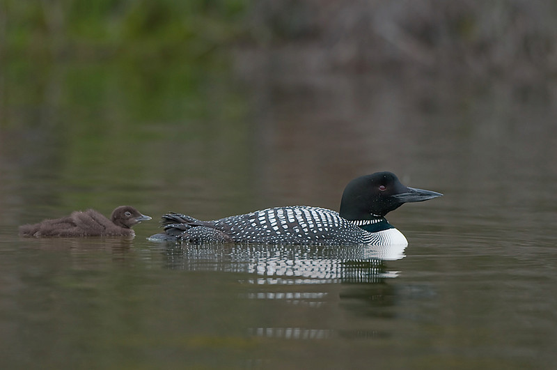 Common Loon and Chick Lac le Jeune, B.C. Canada