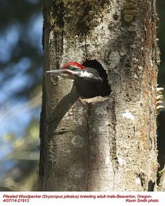 Pileated Woodpecker M 21913.jpg