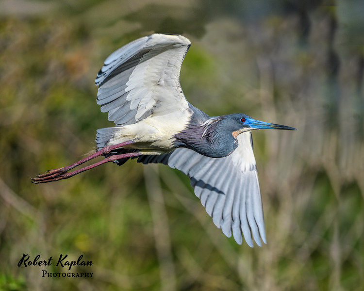 Tri colored Heron-0980.jpg