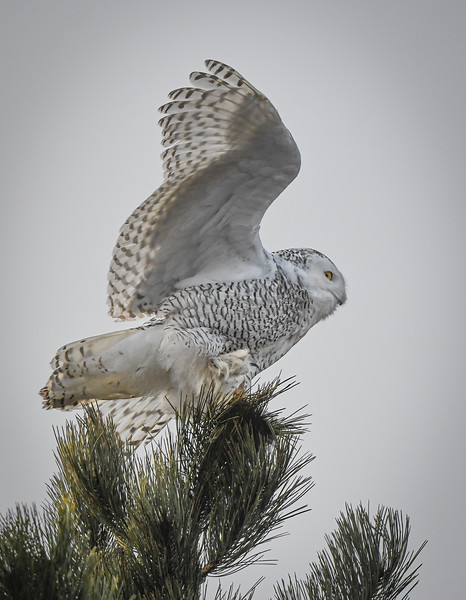 Daisy treetop landing