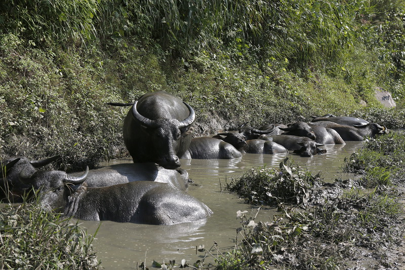 Water Buffalo in a relaxed mud spa.- what could be better ?