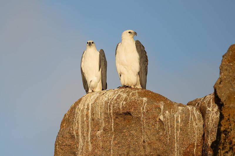 White-bellied Sea-eagles
