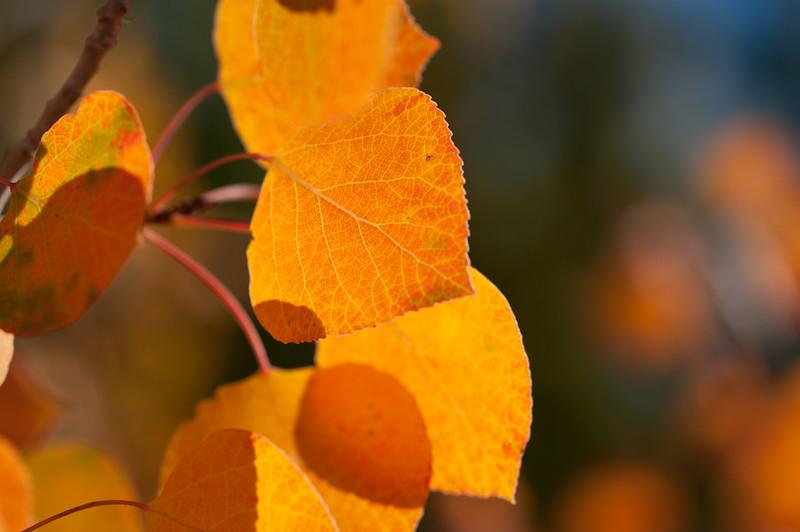 Aspen Leaves In Autumn 055 | Wall Art Resource