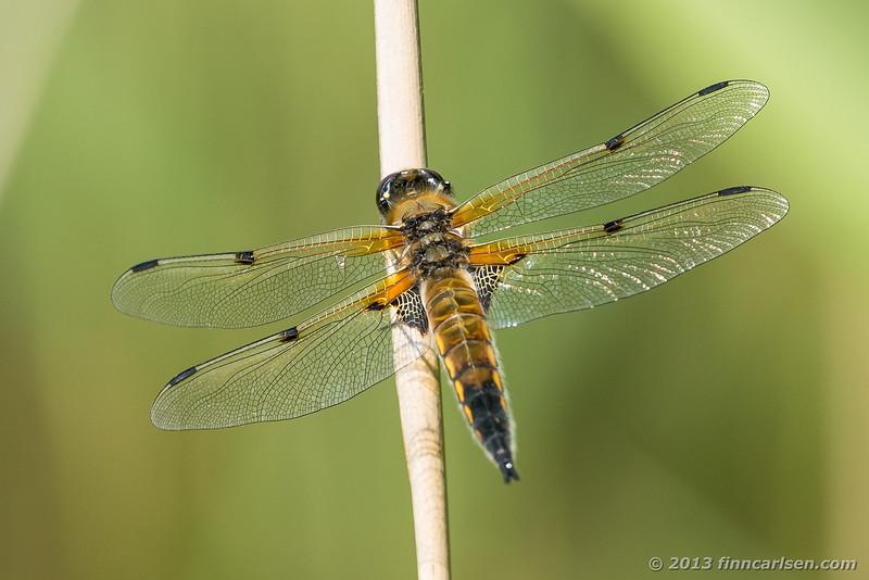 Fireplettet libel (Libellula quadrimaculata - Four-spotted Chaser)