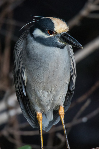 Yellow-crowned Night Heron So. FL 2020-1.jpg