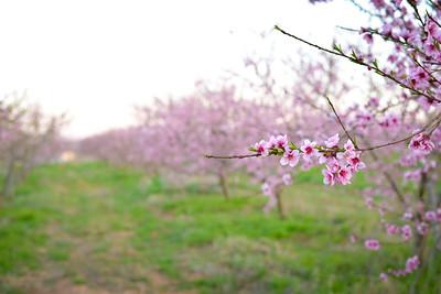 Texas Peach Farm