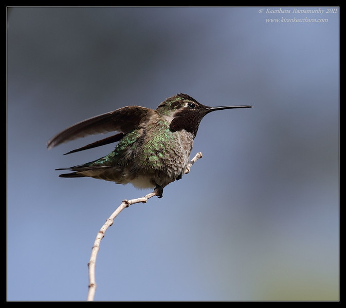 Anna's Hummingbird, Tamarisk Grove Campground, Anza Borrego Desert State Park, San Diego County, California, March 2011