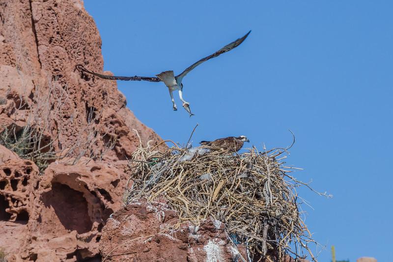 Birding in La Paz Mexico