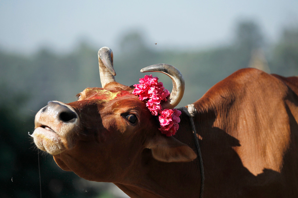 . A cow stands decorated with vermilion powder and garland after it being worshiped during Tihar festival celebrations in Kathmandu, Nepal, Thursday, Oct. 19, 2017. Cows are considered sacred to Hindus and are worshipped during Tihar festival, one of the most important Hindu festivals dedicated to the Goddess of wealth Laxmi. (AP Photo/Niranjan Shrestha)