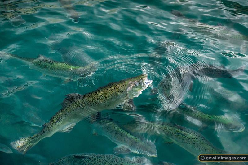 NZ Salmon