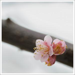 Plum orchard in Yugawara
