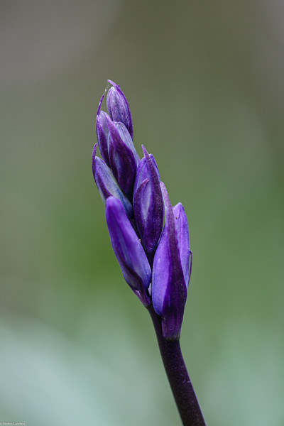 The Bluebells are Coming
